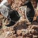 20180406 3629CPw [D~PI] Tordalk (Alca torda), Dreizehenmöwe (Rissa tridactyla), Helgoland