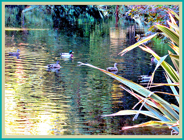 Ducks on Reflections.