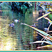 Ducks on Reflections.