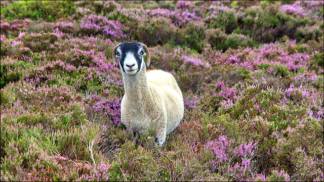 Heather the sheep