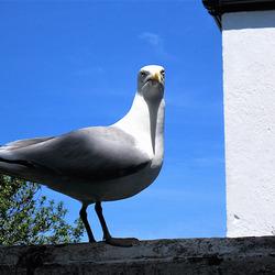 Parent seagull warning me