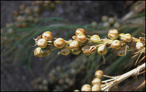 Asphodeline liburnica (4)
