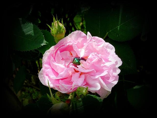Le petit scarabée