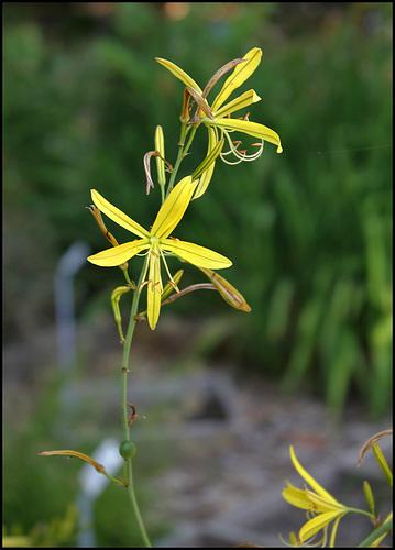 Asphodeline liburnica (6)