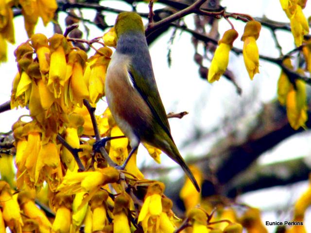 Waxeye on Kowhai Tree.