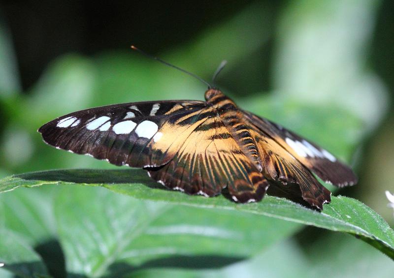 Klipper-Schmetterling