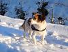Jack Russell Terrier Clifford DSCN0065
