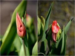 Prémices Tulipiennes !
