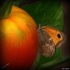Tomate (Montfavet), Papillon(Fadet)  ...mais pas fade du tout