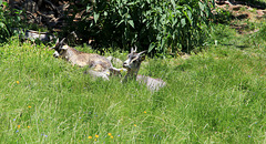 Siesta - Junge Ziegen der Kradorfer Alm
