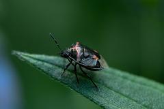 Stink Bug 1