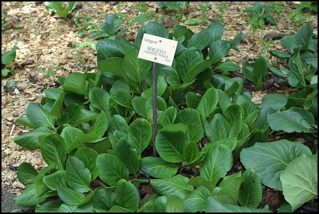 Bergenia crassifolia (2)