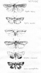 Noctuid and other moths