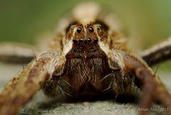 Spider Portrait (Pisaura mirabilis).