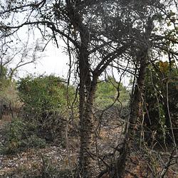"""""""Zanthoxylum capense"""" Okavango-Delto"""