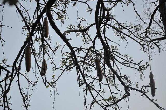 Kolbasarbo. Okavango-Delto