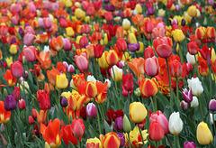 Farbenpracht (Tulpen)