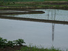 Paddy flooded and seedlings transplanted