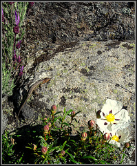 Lizard, granite, lavender and cistus.