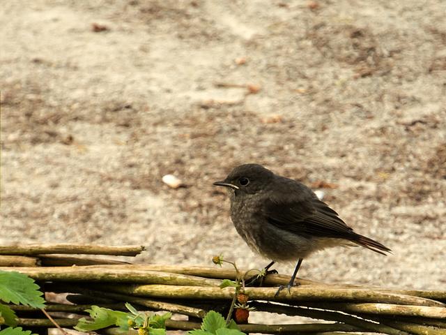 BELFORT: Un  Rougequeue noir (Phoenicurus ochruros).