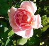Rose d'été...