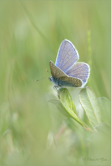 Common blue ~ Icarusblauwtje (Polyommatus icarus) ♂ on a white softly dot...