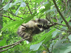 Baby raccoon in fig tree