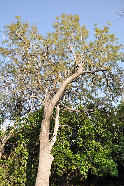 Kolbasarbo aŭ kigelio, troveblas tra la tuta Suda Afriko, ege danĝere resti sub ĝi. La frukto povas pezi 5-10 kg. Okavango-Delto
