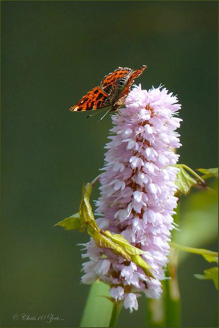 Map Butterfly / European Map ~ Landkaartje (Araschnia levana) in Spring cloths...