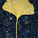 autumn, ginkgo, water drop, exposed aggregate concrete
