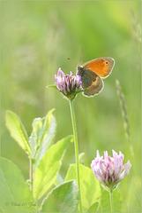 Small Heath ~ Hooibeestje (Coenonympha pamphilus)...