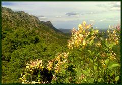 Honeysuckle. La Sierra de La Cabrera.