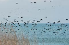 """Envol de centaines de canards """"fuligule morillon""""...(voir sur fond noir)"""