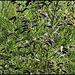 Cytisus scoparius (3)
