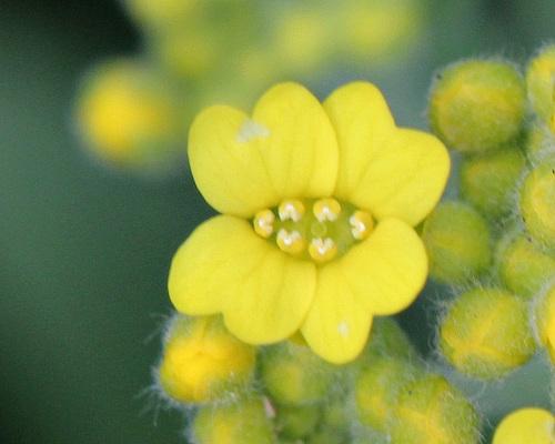 Aurinia saxatilis-alysse corbeille d'or