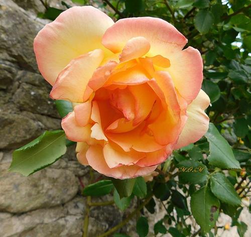 Rose pour vous...
