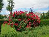 """Un """"bouquet"""" de roses rouges"""