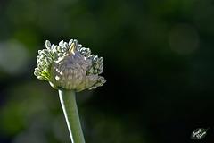 216/366: Bursting into Bloom