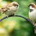 Sparrow adult and youngster.