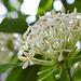 20180402-0951 Ixora fragrans (Hook. & Arn.) A.Gray