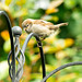 Sparrow youngster