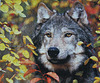 """Autumn Gray Wolf"" (Explored)"