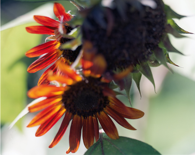 fading sunflower