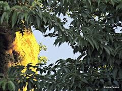 Sunlit trunk through leaves