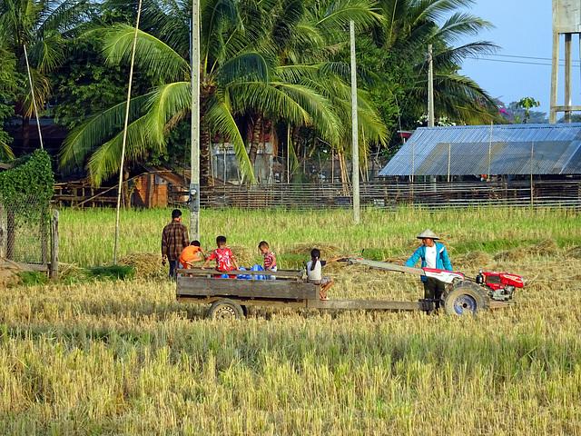 Rice harvest on Don Det, 4 thousand islands , Champasak ,South Laos,