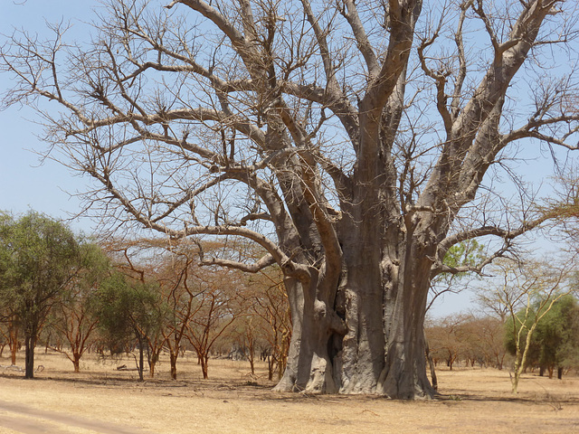 Baobab Tree, Senegal