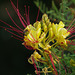 Grévilée semperflorens - abeille