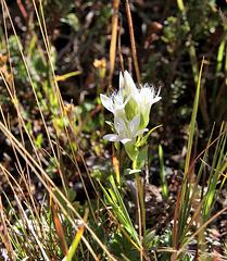 weisser Kranzenzian (Feldenzian) - white field gentian - gentiane blanc