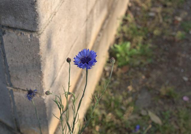 Cornflowers on the edge