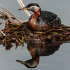 Red-necked Grebe & reflection